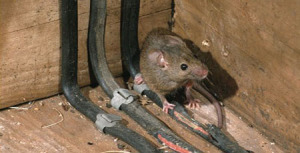 Rat Pictures in Attic